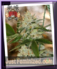 Sin City Nightmare O.G. Female 7 Cannabis Seeds